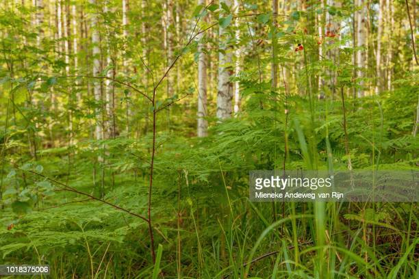 Silver birches and green ferns in Gla Forest Nature Reserve, Lenungshammar, Western Värmland, Sweden.
