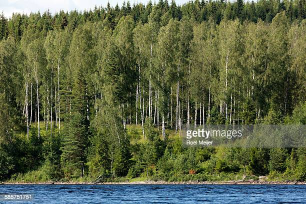 silver birches on bank of swedish lake - dalsland stock photos and pictures