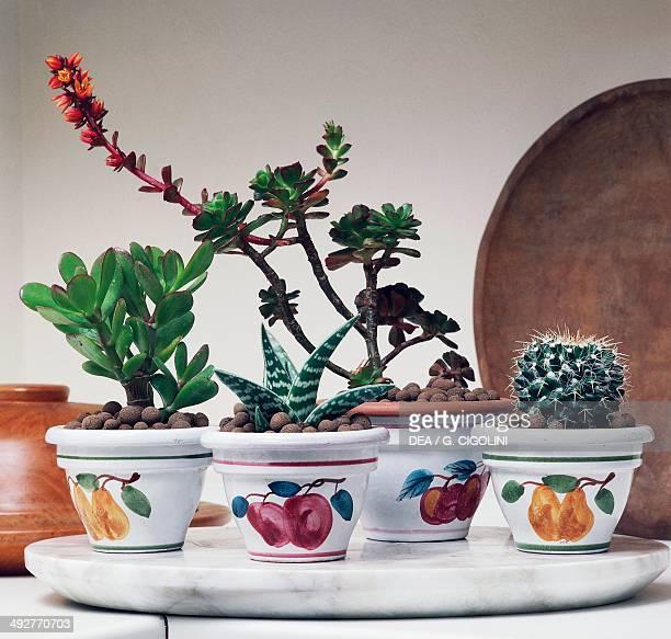 Silver dollar plant Crassulaceae Aloe variegata Aloeaceae Echeveria pulvinata e Oroya neoperuviana Cactaceae