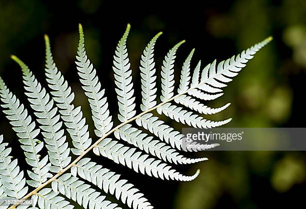 silver fern close-up - silver coloured stock pictures, royalty-free photos & images