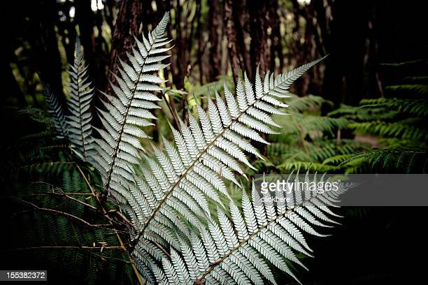 silver fern new zealand - fern stock pictures, royalty-free photos & images