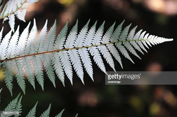 silver fern - silver coloured stock pictures, royalty-free photos & images