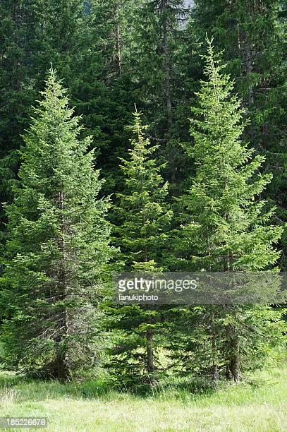 foresta di abete bianco - abete foto e immagini stock