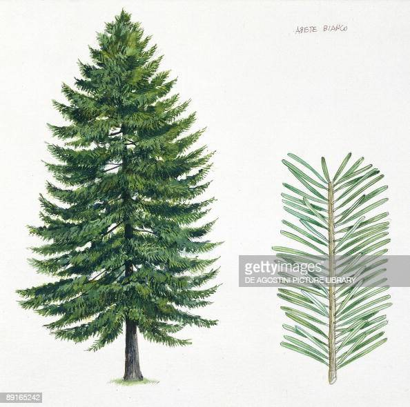 Silver Fir Abies Alba Tree And Needles Illustration