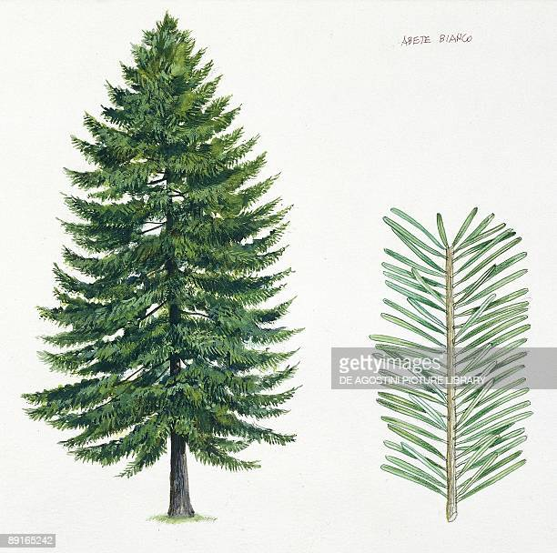 Silver Fir tree and needles illustration