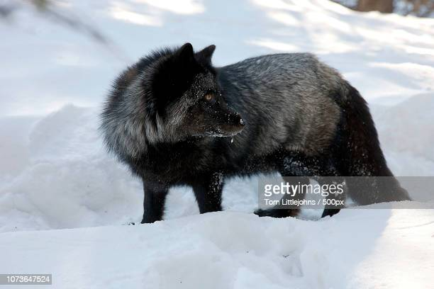 silver fox in the rockies - black wolf stock pictures, royalty-free photos & images