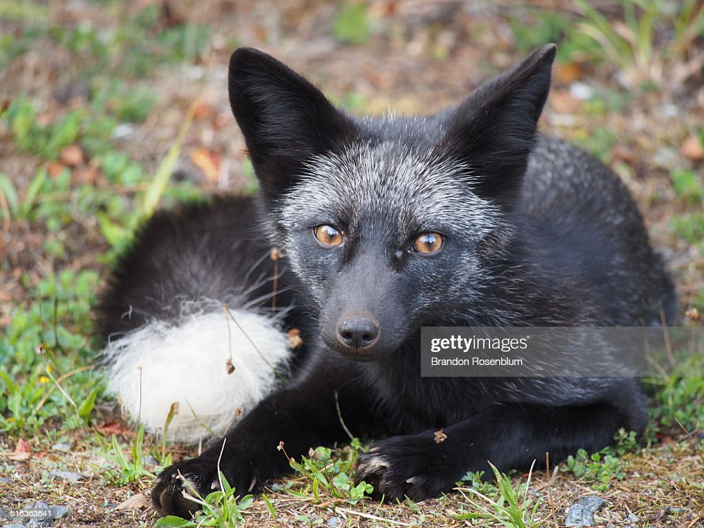 Silver Fox High Res Stock Photo Getty Images