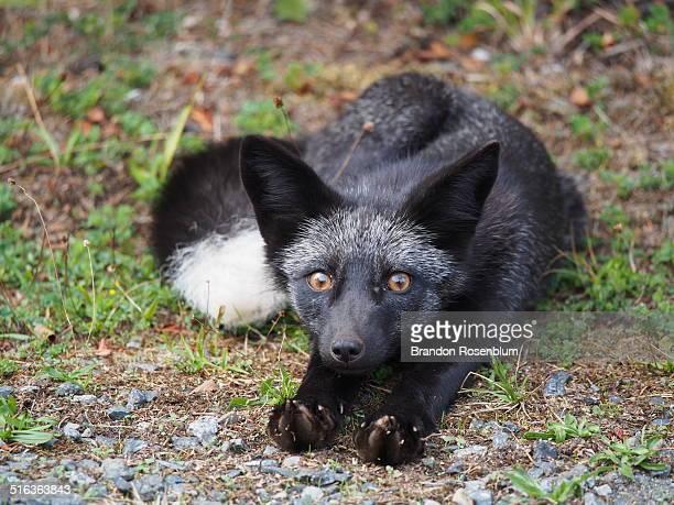 Silver fox streching