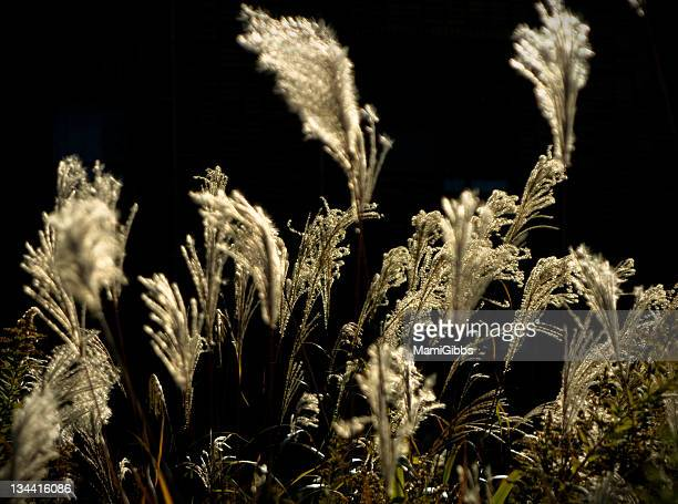 silver grass blowing in breeze - mamigibbs stock photos and pictures