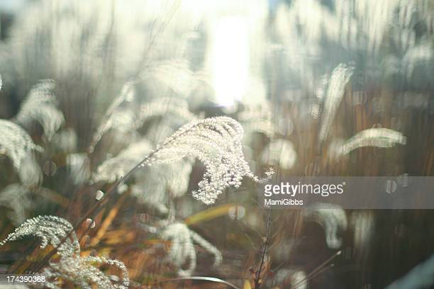silver grass swaying in the light - mamigibbs stock photos and pictures