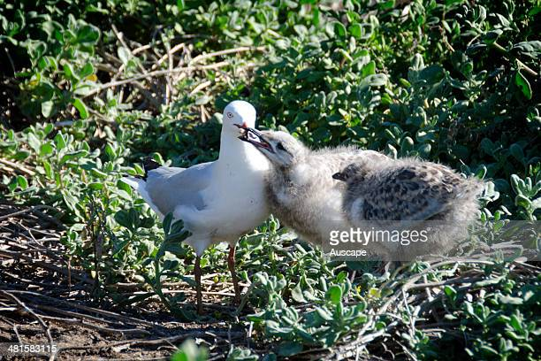 Silver gull Chroicocephalus novaehollandiae large chick taking food from parent at nest site Penguin Island Shoalwater Islands Marine Park Western...