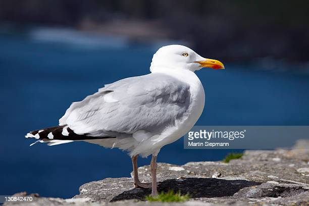 silver gull, herring gull (larus argentatus), ireland, british isles, europe - vista lateral stock pictures, royalty-free photos & images