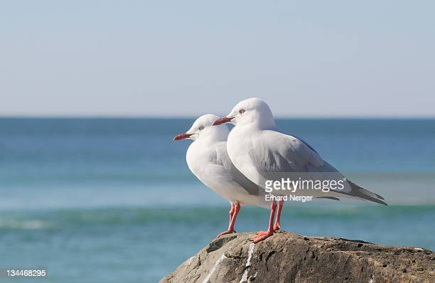 silver gulls (larus novaehollandiae), australia - vista lateral stock pictures, royalty-free photos & images