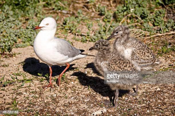 Silver gulls Chroicocephalus novaehollandiae adult and two chicks Penguin Island Shoalwater Islands Marine Park Western Australia