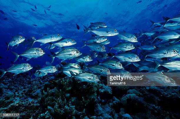 silver jacks - jack fish stock pictures, royalty-free photos & images