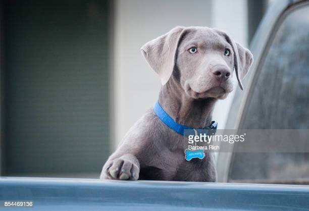 Silver Labrador Retriever puppy with one paw up looking at activity in the distance