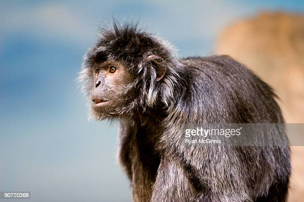 a silver leafed langur - ryan mcginnis stock photos and pictures