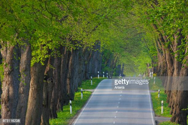 Silver linden / silver lime trees bordering avenue in summer