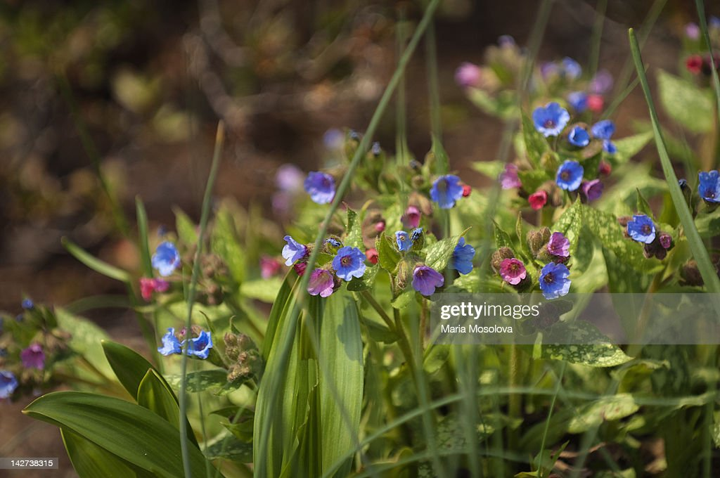 Silver Lungwort Pulmonaria Silver Bouquet High Res Stock Photo