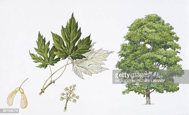 60 Top Silver Maple Pictures, Photos, & Images - Getty Images