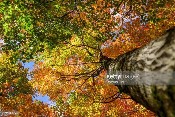 Silver maple tree during fall season