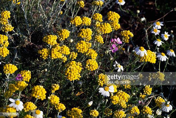 Silver ragwort and seaside chamomile on Beauduc sand dunes Regional Nature Park of the Camargue ProvenceAlpesCote d'Azur France