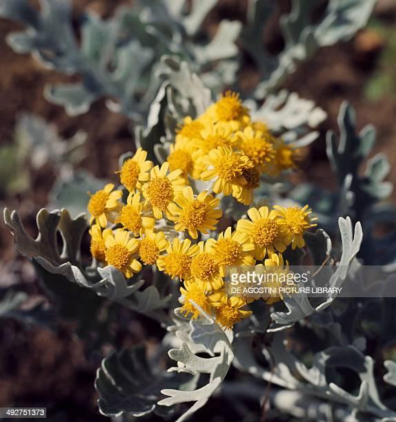 Silver Ragwort Asteraceae