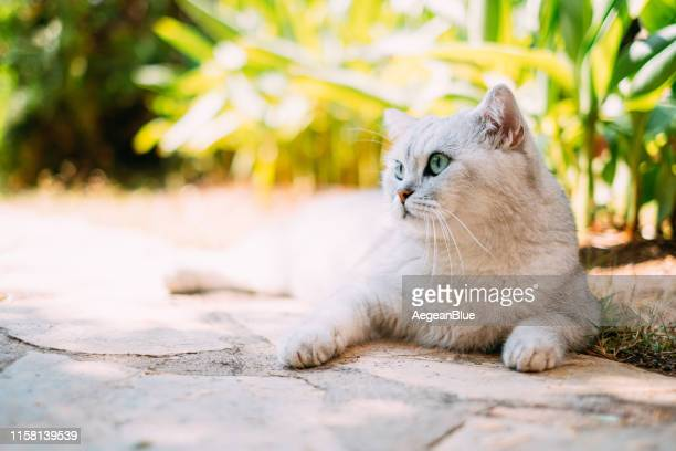 silver shaded british shorthair in the garden - british shorthair cat stock pictures, royalty-free photos & images