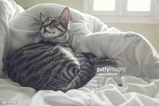 Silver tabby kitten relaxing in bed