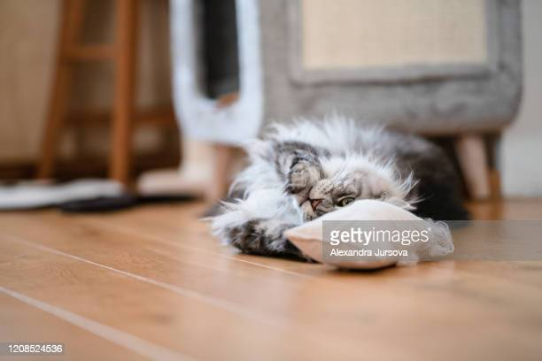 silver tabby maine coon cat - catmint stock pictures, royalty-free photos & images