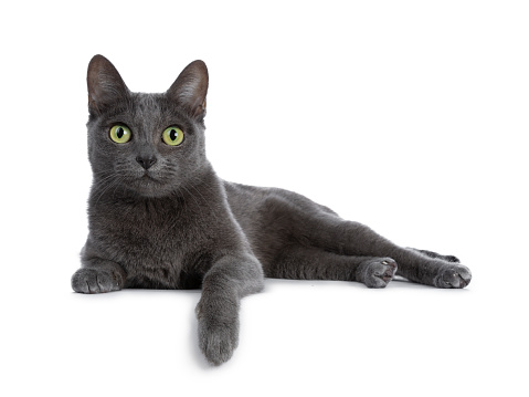 Silver tipped blue adult Korat cat laying down side ways with one paw hanging over edge and looking straight at camera with green eyes, isolated on white background 1052354804