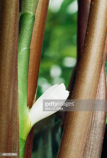 Silver variegated Calathea Marantaceae