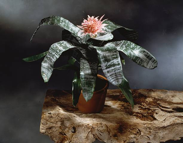 Silver Vase Or Urn Plant Bromeliaceae Pictures Getty Images