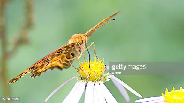Silver Washed Fritillary Butterfly in Feeding