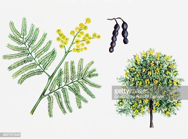 Silver wattle Blue wattle or Mimosa Mimosaceae tree leaves flowers and fruits illustration