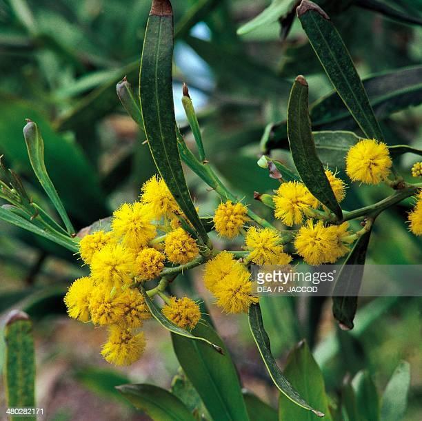 Silver Wattle Fabaceae Caprera Sardinia Italy