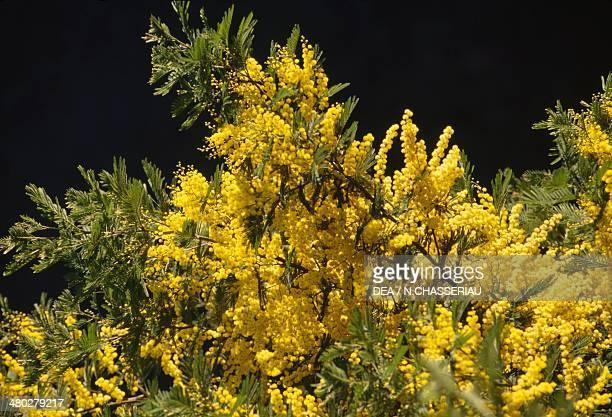 Silver Wattle Fabaceae