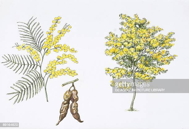 Silver Wattle plant with flower leaf illustration