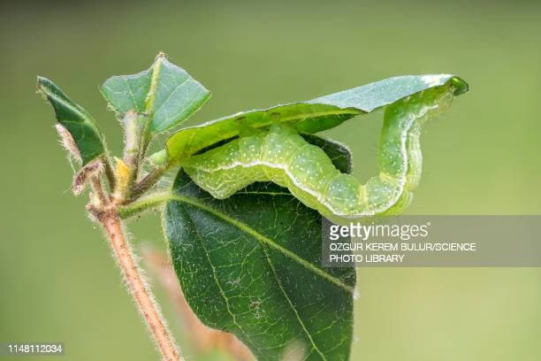 Silver Y Moth Caterpillar Stock Photo - Getty Images