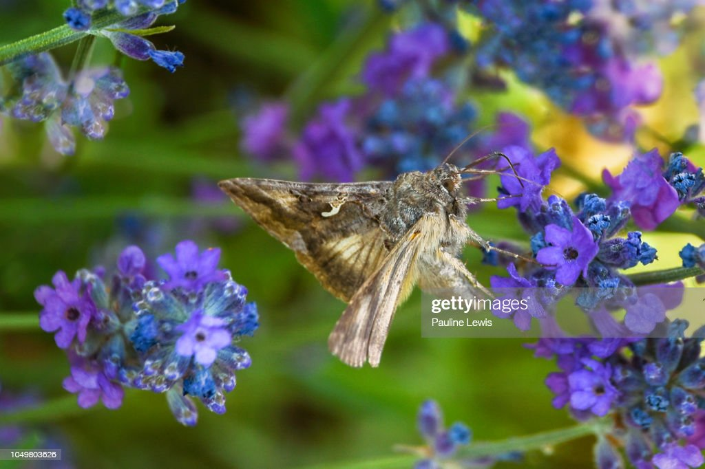 A Silver Y Moth On A Lavender Plant Stock Photo - Getty Images