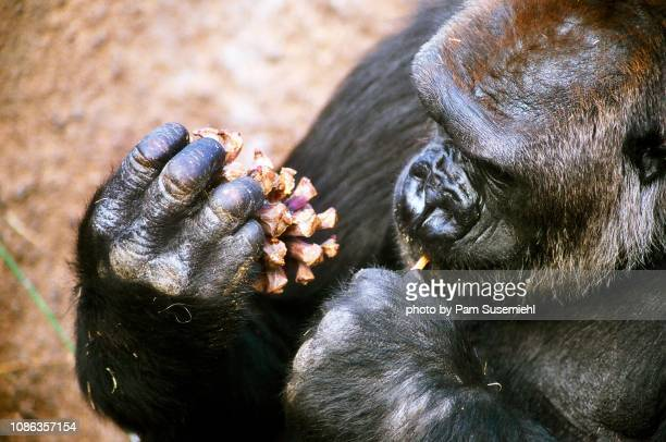 silverback gorilla eating peanut butter out of pinecone - gorilla hand stock photos and pictures
