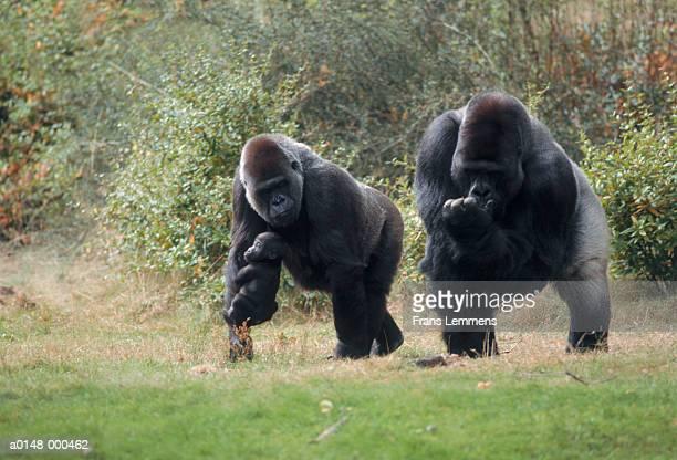 silverback gorilla family - gorila lomo plateado fotografías e imágenes de stock