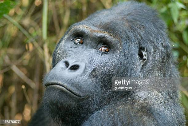 Silverback Gorilla in Congo, focus on eyes, wildlife-shot