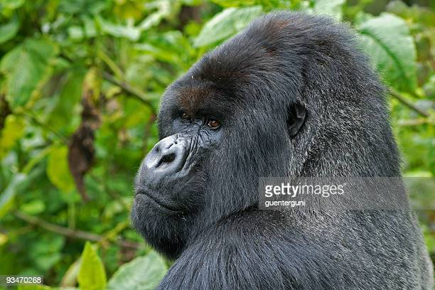 gorila lomo plateado en congo - gorila lomo plateado fotografías e imágenes de stock