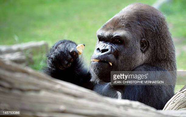 A silverback gorilla is pictured at the zoo of the French eastern city of Amneville on June 5 2012 AFP PHOTO / JEANCHRISTOPHE VERHAEGEN