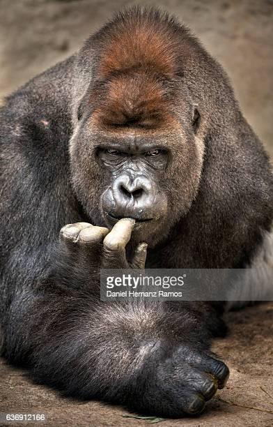 silverback gorilla looking at camera close up - gorila lomo plateado fotografías e imágenes de stock