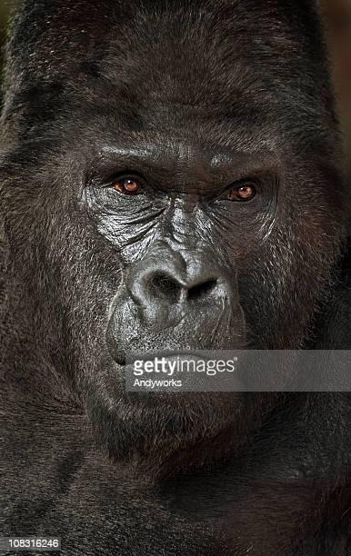 gorila lomo plateado - gorila lomo plateado fotografías e imágenes de stock