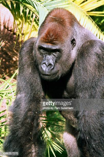 silverback gorilla - ロサンゼルス動物園 ストックフォトと画像