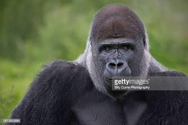 silverback gorilla - gorila lomo plateado fotografías e imágenes de stock