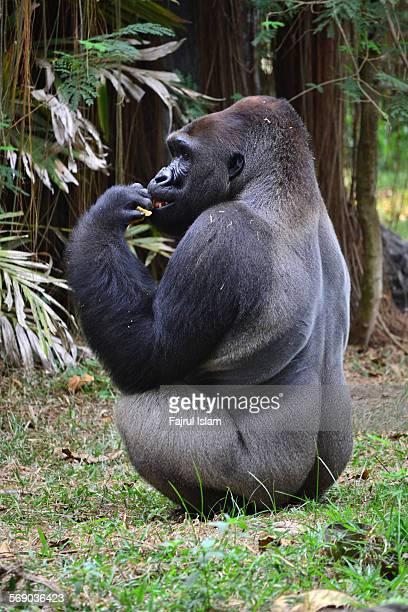 silverback gorilla - 動物の雄 ストックフォトと画像